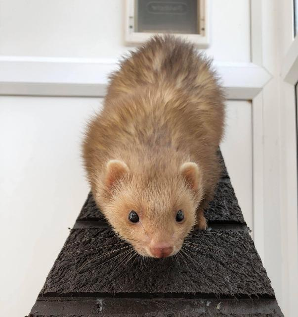 A ferret standing in front of a door  Description automatically generated