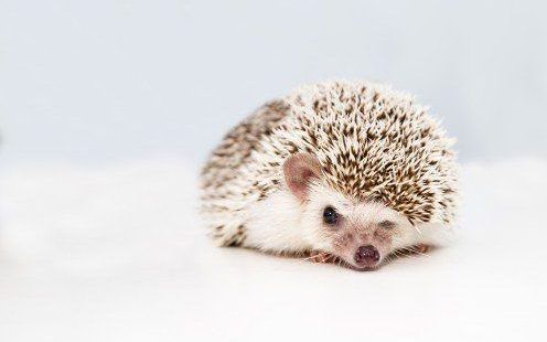 hedgehog dying signs