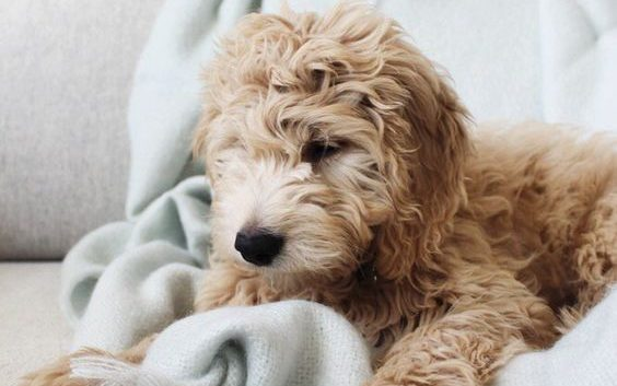 how to train a goldendoodle
