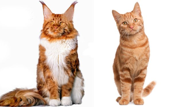 Maine Coon Vs Normal Cat