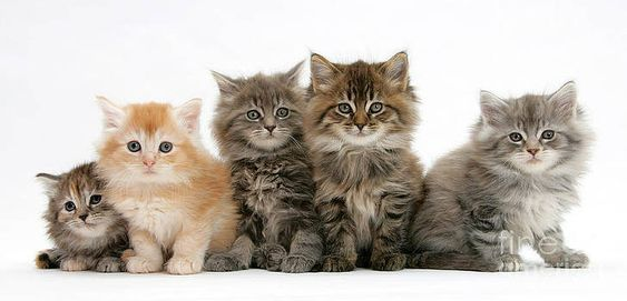 maine coon facts