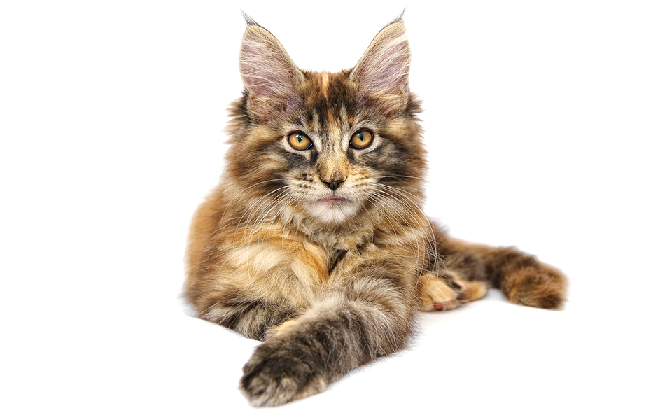 maine coon growth