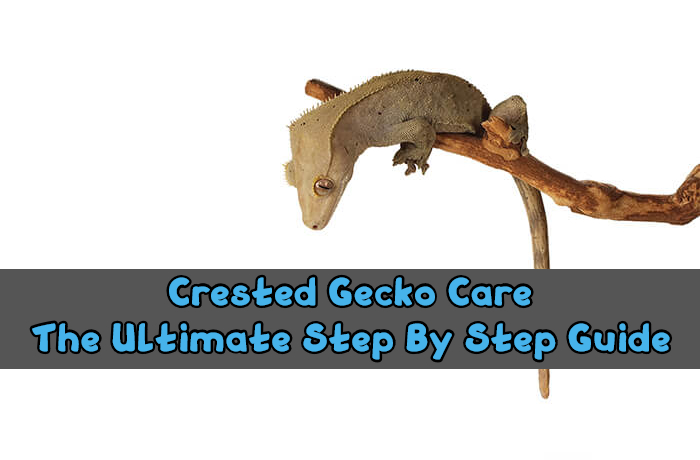 crested gecko care