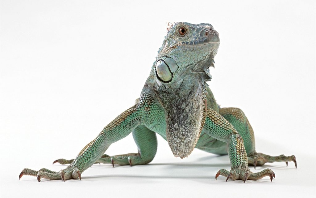 Difference Between Gecko And Lizard