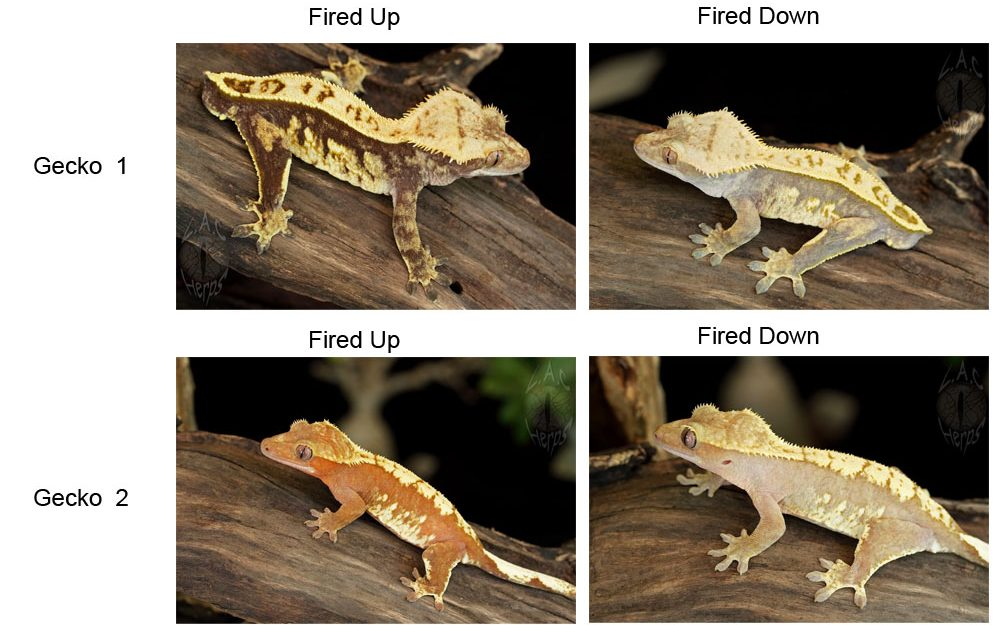 Crested gecko stress signs
