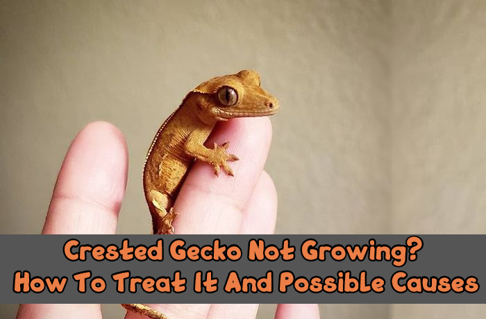 Crested Gecko Not Growing
