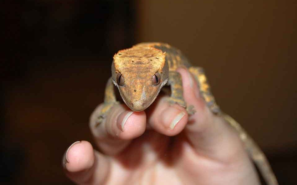 how to hold a crested gecko