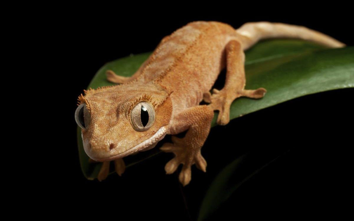 Crested gecko personality