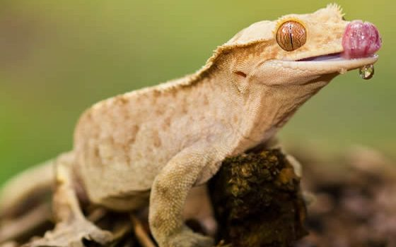 Dehydrated Crested Gecko