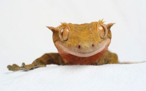 Can Crested Geckos Eat Strawberries