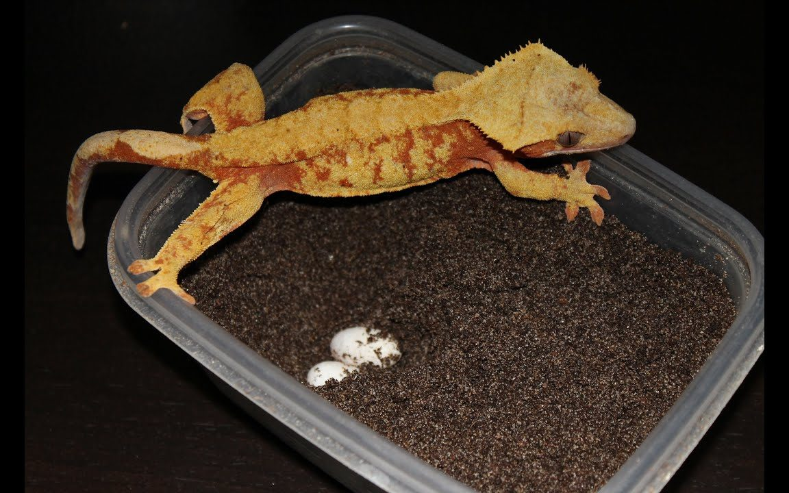 Crested Gecko Hatching