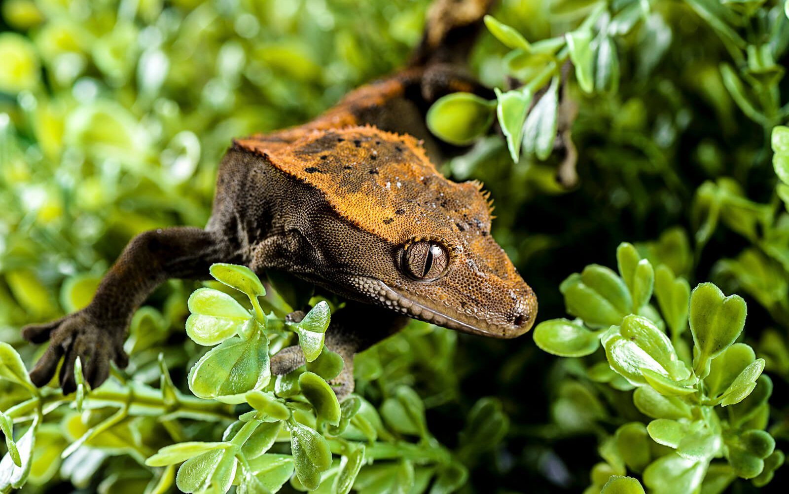 Crested Gecko Not Moving