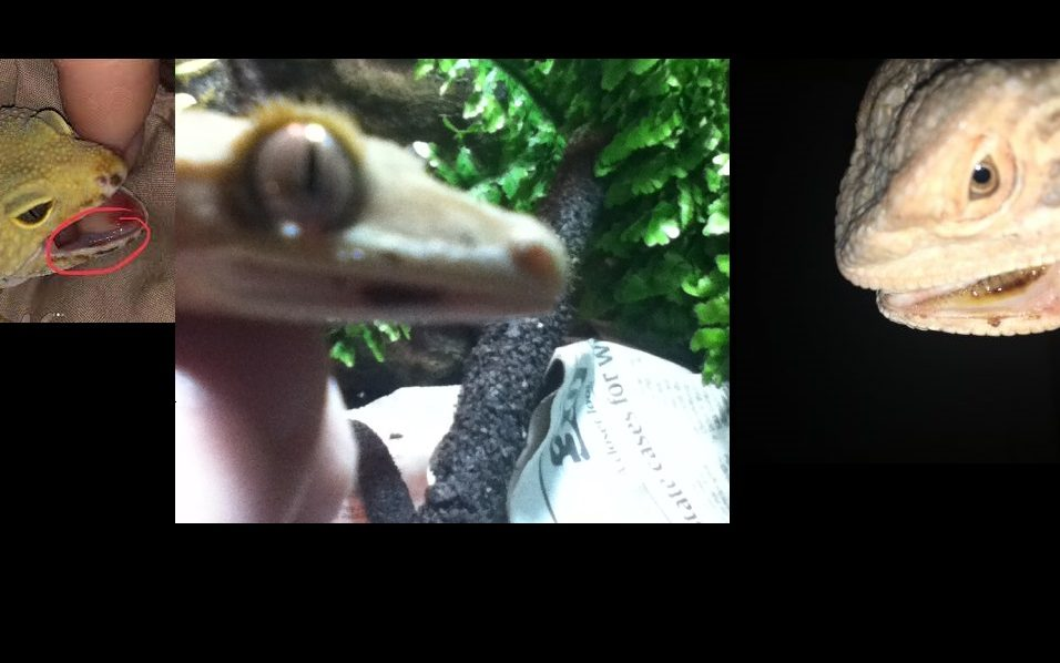 Crested Gecko Mouth Rot