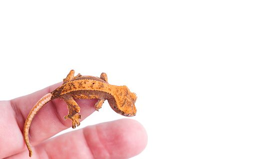 Are Crested Geckos Friendly