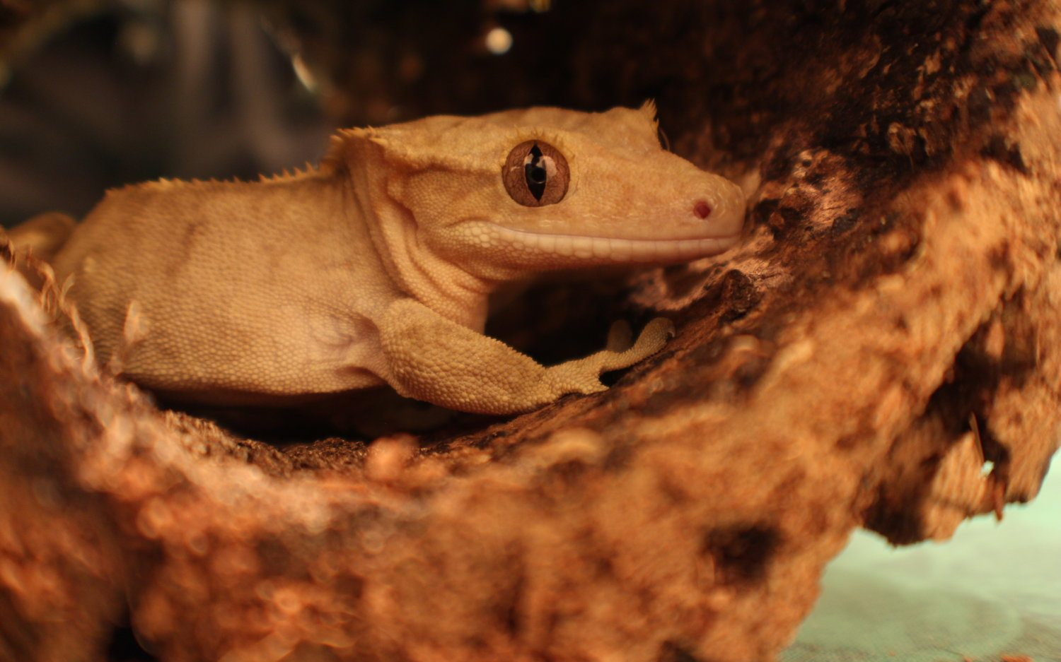 Crested Gecko Not Eating