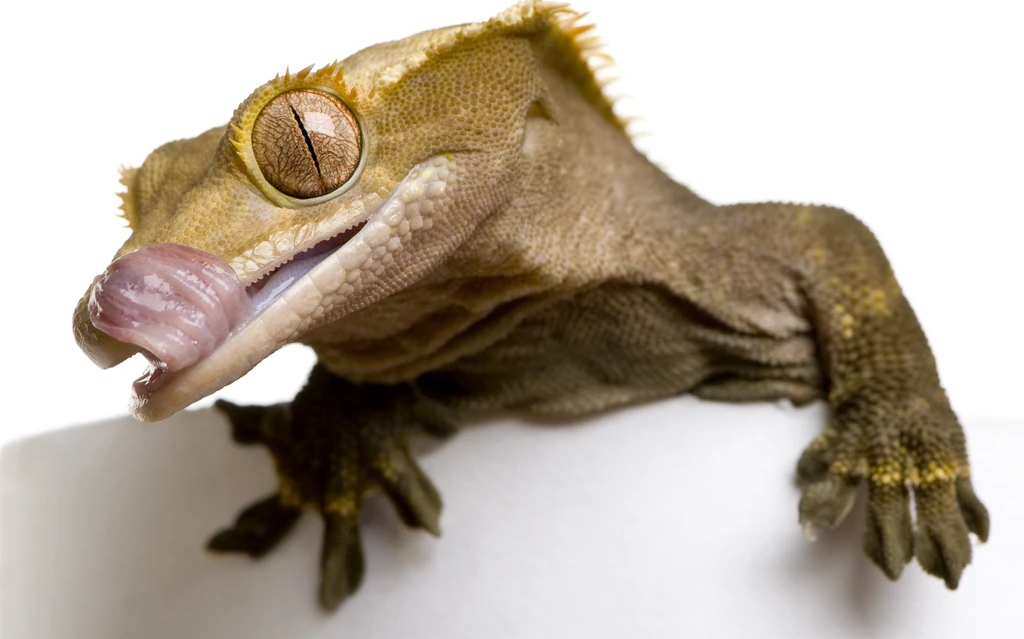 What Crested Geckos Eat