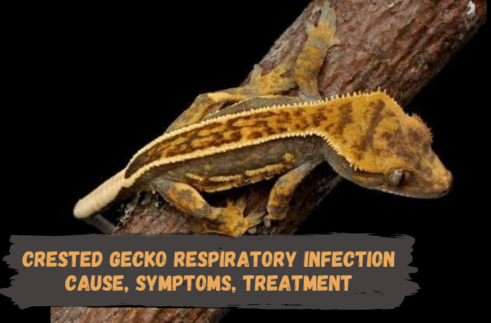 Crested gecko respiratory infection