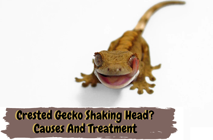 Crested Gecko Shaking Head