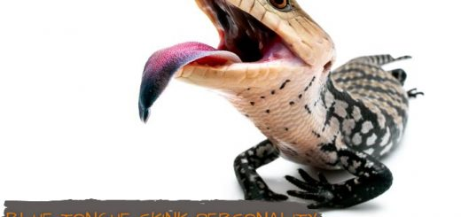 Blue Tongue Skink Personality