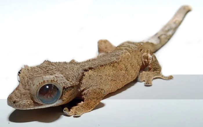 Crested Gecko Eye Infection
