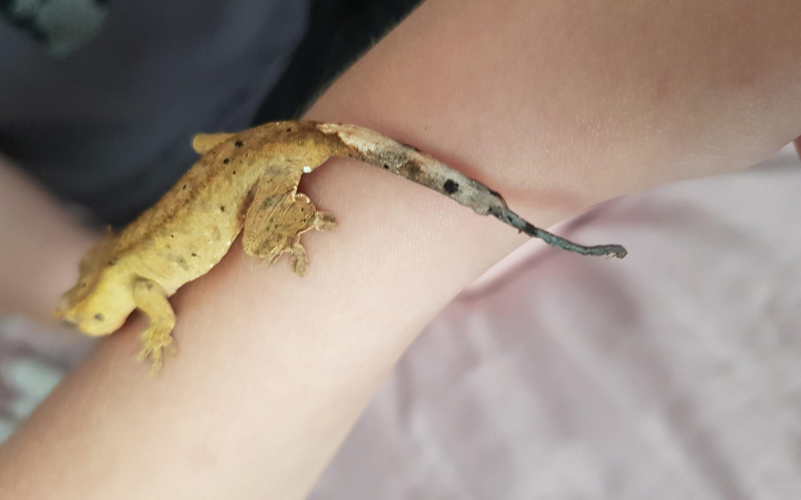Crested Gecko Skin Infection
