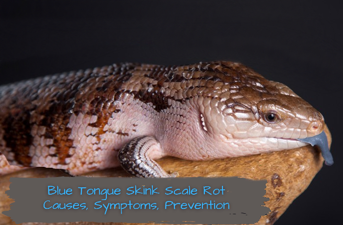 Blue Tongue Skink Scale Rot