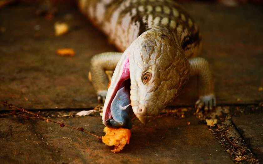 Blue Tongue Skink Supplements