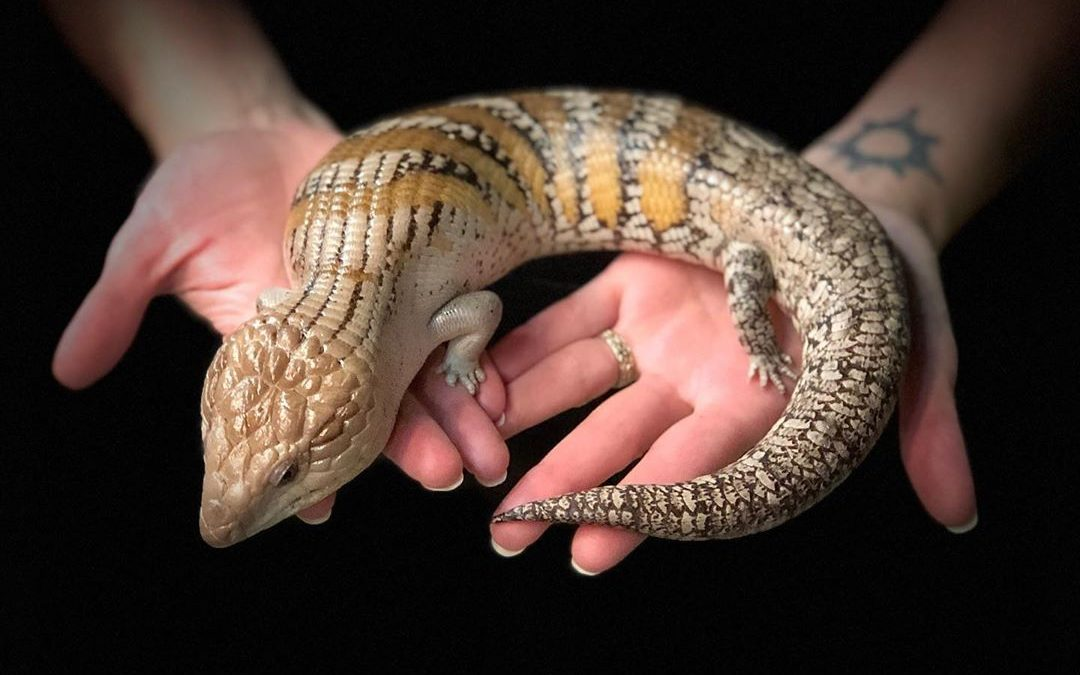 Blue Tongue Skink Huffing