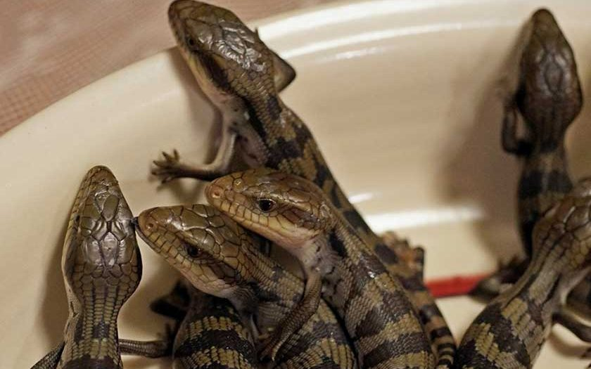 Can Blue Tongue Skinks Live Together?